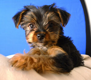 Very Small Male Purebred Yorkie from Tcup sire, family raised