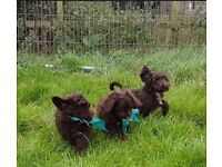 Gorgeous chocolate cockapoo pups for sale.