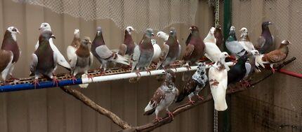 10 pigeons all together $100