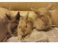 Rabbits for sale £15