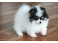 Miniature Pomeranian boys pati color