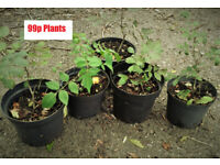 Plants Ash Trees. Bonsai starter plants. 3 year old saplings. Conservation . Garden
