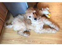 Very cute poodle puppy full pedigree