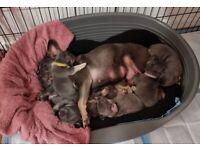Stunning blue/lilac and tan French bulldog puppies