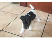 2 gorgeous Jack Russell male puppies.