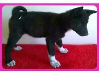 Kc reg akita puppies -with both vaccinations