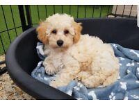 Last poochon girl puppy