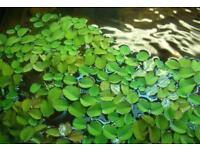 Floating Aquatic Plants - Salvinia