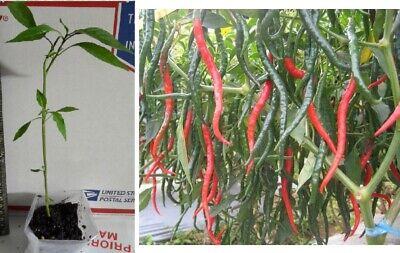 Long Thin Chili Pepper Cayenne Capsicum 8