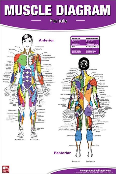 Female BODY MUSCLE DIAGRAM Professional Health Club Gym ...
