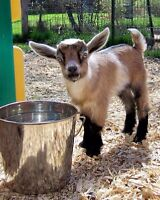 ----NIGERIAN DWARF & PYGMY GOAT DOES AND DOELINGS----