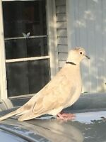 free white dove with ring on its neck