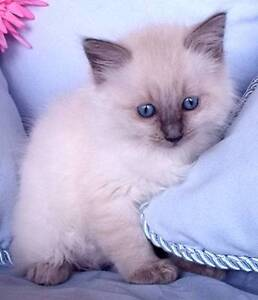Purebred Ragdoll Kittens Available Now West Pymble Ku-ring-gai Area Preview
