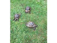 Adult Male and Female tortoises