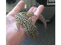 Leopard geckos available