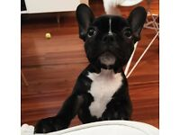 Stunning French bulldog girl for sale