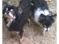 Chihuahua male and female
