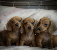 3 Purebred Miniture Dachshunds available!