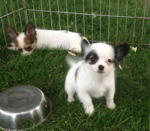 PAPILLON X CHINESE CRESTED