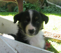 Very friendly Border Collie Puppies