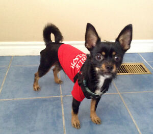 Sweet & Playful male chihuahua/shih tzu dog
