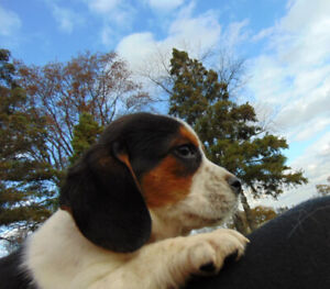 BEAGLE PUPPIES  - Vet Checked, Vaccinated, Puppy Kit