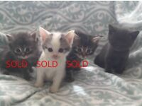 Last Adorable Kitten Left. Ready 30th May