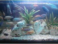 Tropical fish Malawi cichlids