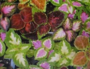 COLEUS-SEEDS-RAINBOW-MIXTURE