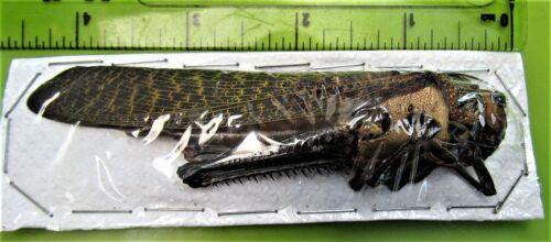 Giant Grasshopper Tropidacris dux Female  110-115 mm FAST FROM USA