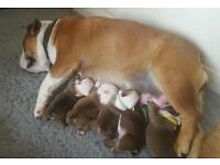 English bulldog (british bulldog) puppies