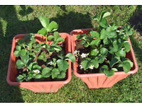Strawberry Planter 32cm square, height 18cm with 4 Plants £5.00 SOLD OUT