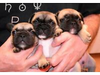 Beautiful litter of KC Registered French Bulldog puppies