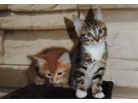 Adorable bunch of British SH kittens