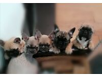French bull dog pups 2x boys 2x girls for sale