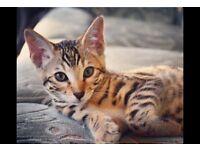 URGENT Cat Sitter Needed