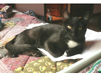 lost cat Noggy black w/white belly, last seen Mount Pleasant L'pool nr Hatters Hostel L3 5SD
