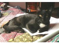 lost cat Noggy black w/white belly, last seen Mount Pleasant L'pool nr Hatters Hostel L3 5SD