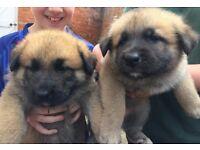 German Shepherd x Akita puppies