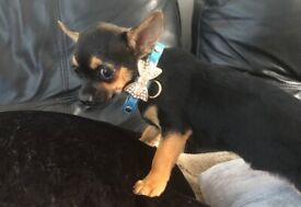Chihuahua male puppys available