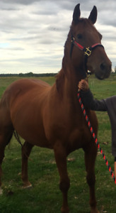 Great trail riding quarter horse to a good home