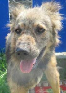 "Young Male Dog - Golden Retriever-Shepherd: ""MURRAY"""