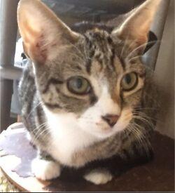Tabby kitten for sale!!