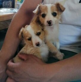 Maltese x Chihuahua pups for sale