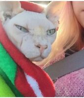 STOLEN Sphynx may be in Sask
