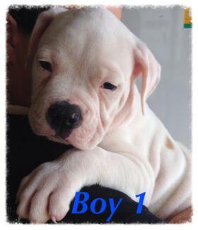 AMERICAN BULLDOG PUREBRED PUPS, READY NOW, TOP B/LINES. $1400 NEG,HUGE Rockhampton 4700 Rockhampton City Preview