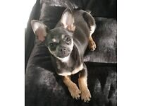 Pedigree blue and tan chihuahua puppy