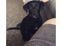 7 month old Labrador