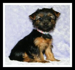 CKC Registered Pure breed Yorkshire terrier Puppies