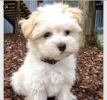 Wanted: Wanted: Maltese terrier mix